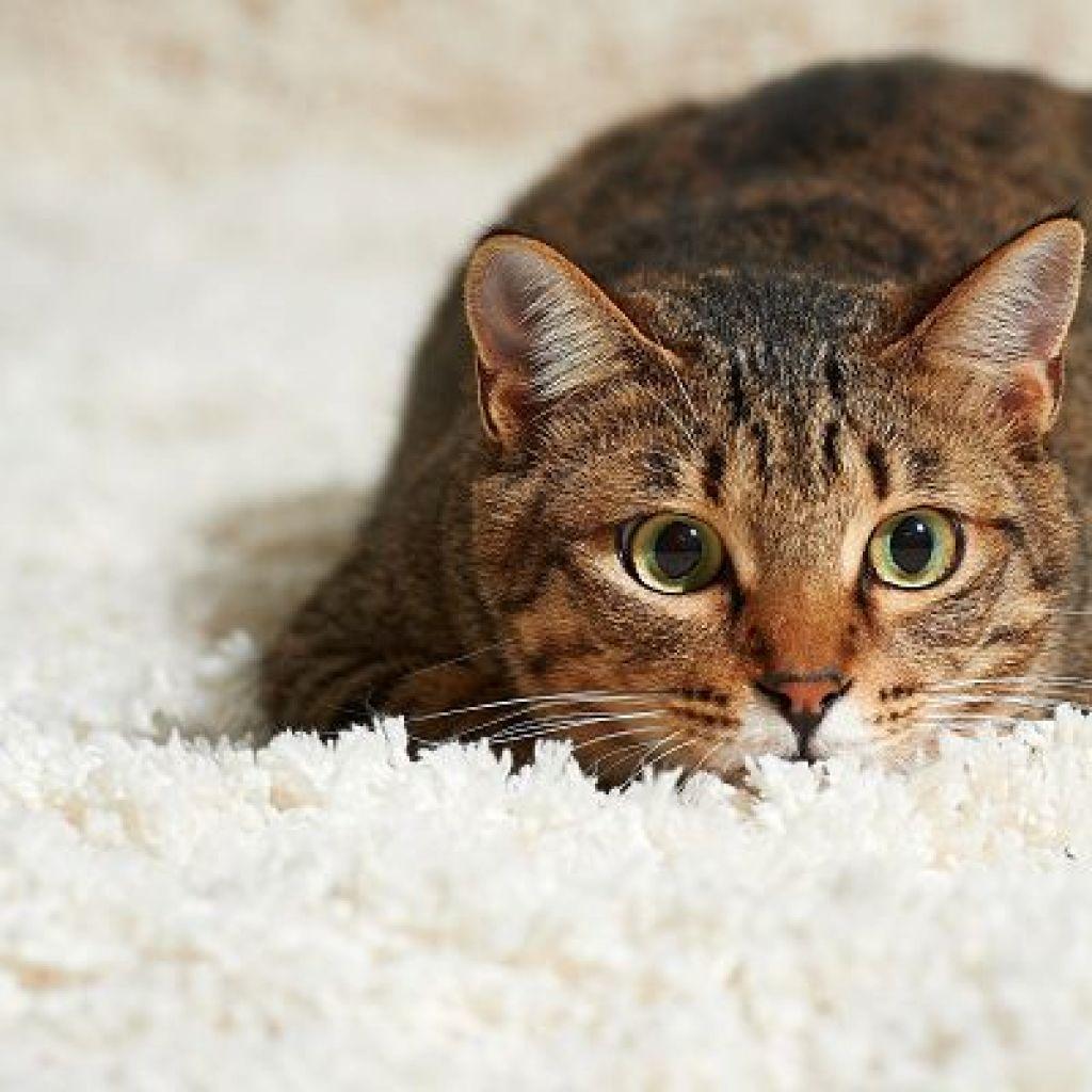 Убрать запах кошачьей мочи с ковра – выручит спирт!